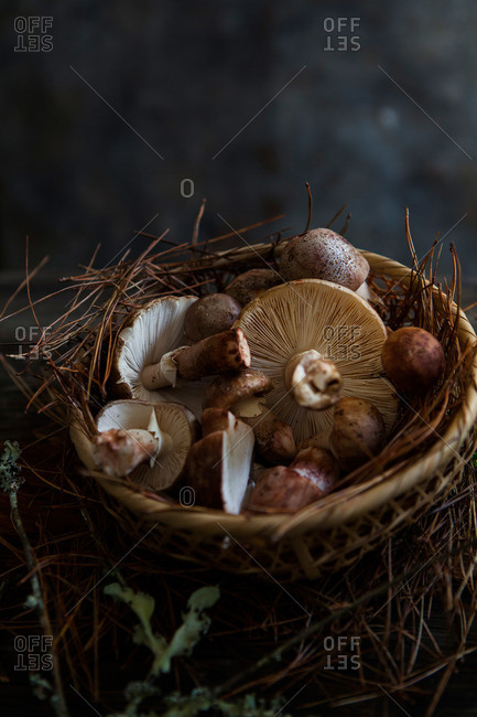 Close-up of basket of wild mushrooms on pine needles