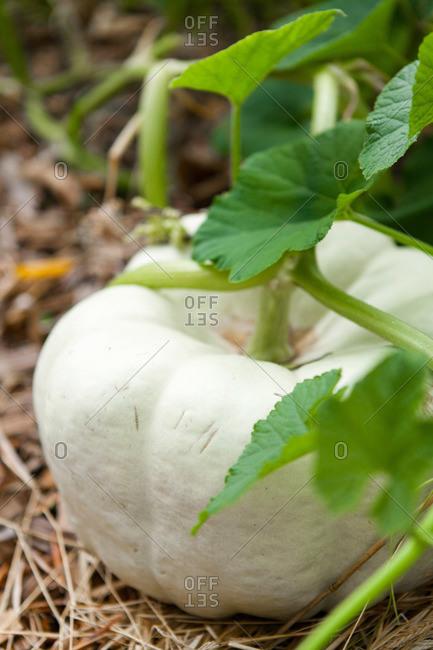 White pumpkin growing on vine