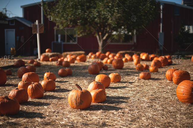 Pumpkin harvest on hay in farmland