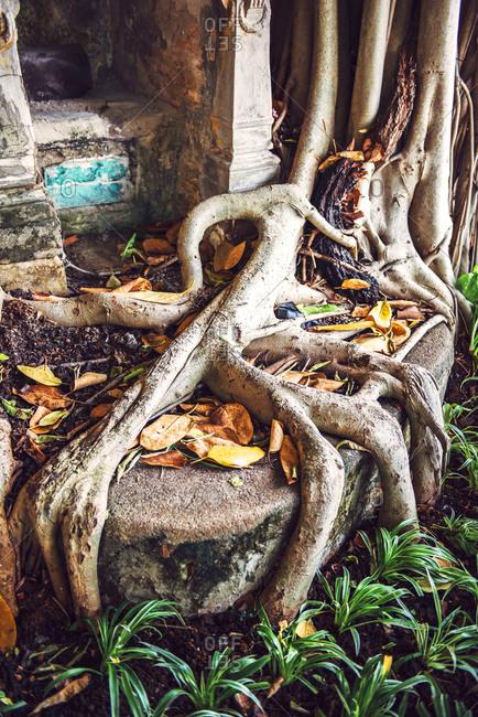 Big roots of a tree, Bangkok