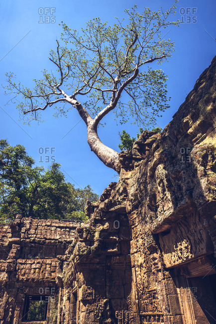 A tree starts to take over the ruins at Angkor Thom in Cambodia