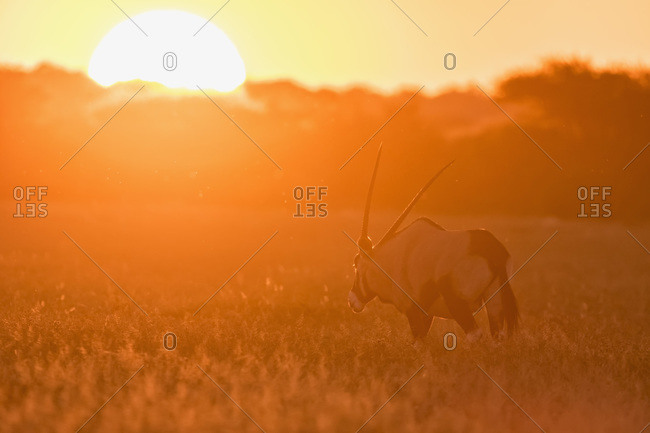 Gemsbok at sunset, Central Kalahari Game Reserve, Kalahari, Botswana