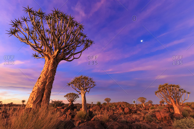 Quiver Tree Forest at sunset, Namibia,