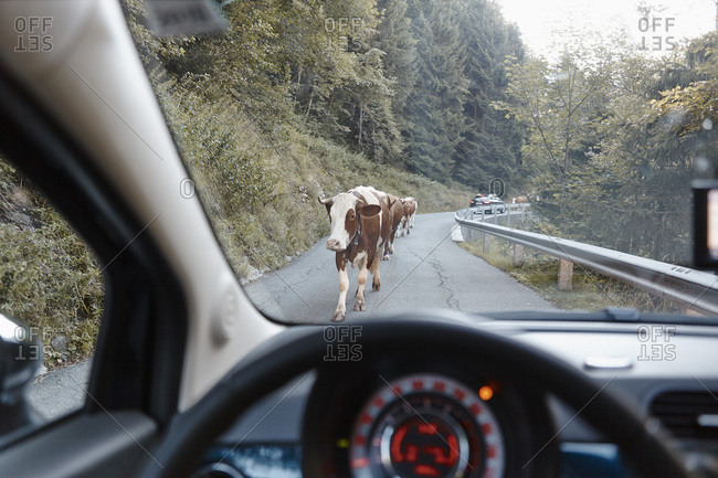 Cows on mountain road, Hohe Tauern National Park, East Tyrol