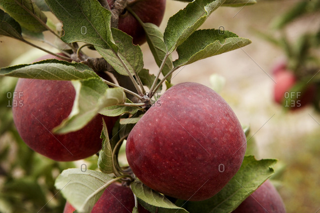 Close up of apples on a tree
