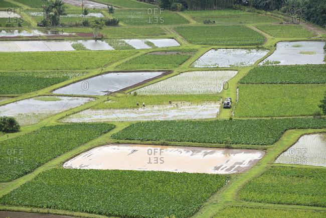 Workers in tarro fields