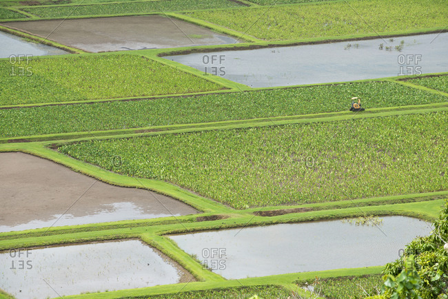 Crops growing in paddy fields