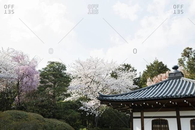 Ryoan-ji zen garden in Kyoto, roof with cherry blossom trees, Kansai Region, Japan