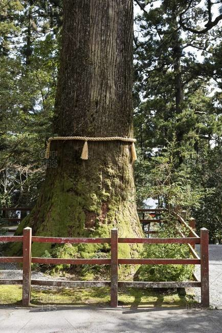 801 year old Cedar tree with yellow straw rope at Hakone Shrine on Lake Ashi