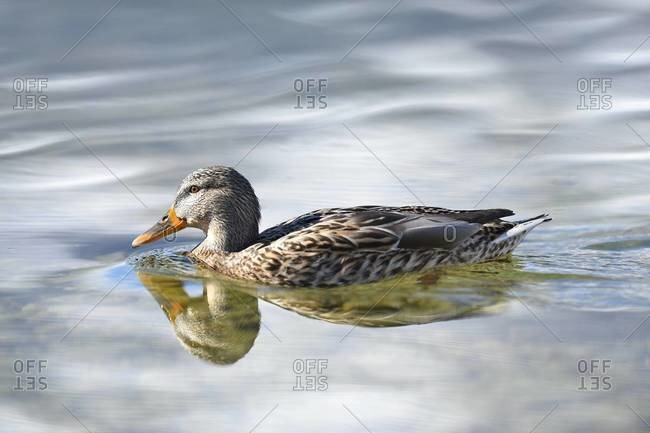 Close-up portrait of a mallard duck (Anas platyrhynchos) swimming in Lake Grundlsee in winter, Styria, Austria