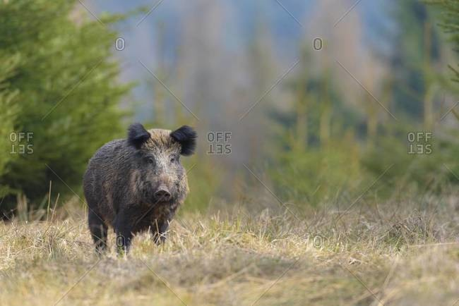 Portrait of a Wild boar (Sus scrofa) in Early Spring, Female, Spessart, Bavaria, Germany, Europe