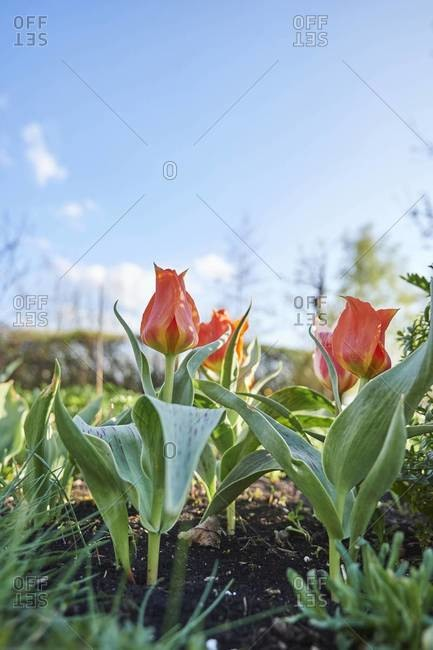 Close-up of garden tulip (tulipa) blossoms in spring, bavaria, germany