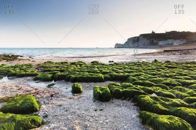 Green kelp on rocky beach, Falaise d'Amont at Sunrise, Cote d'Albatre, Pays de Caux, Seine-Maritime, Haute-Normandie, France