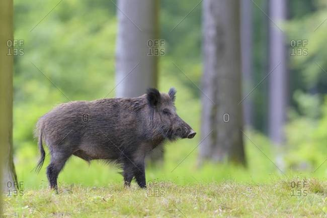 Male wild boar (sus scrofa), spessart, bavaria, germany