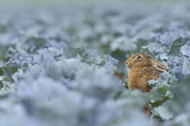 European brown hare (lepus europaeus) in red cabbage field in summer, Hesse, Germany