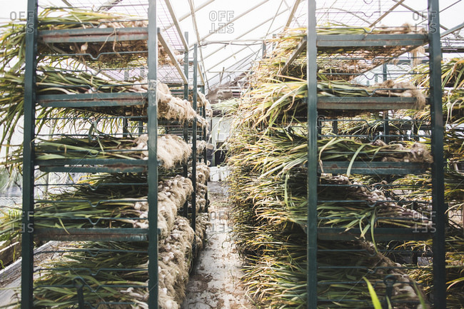 Rows and rows of harvested garlic