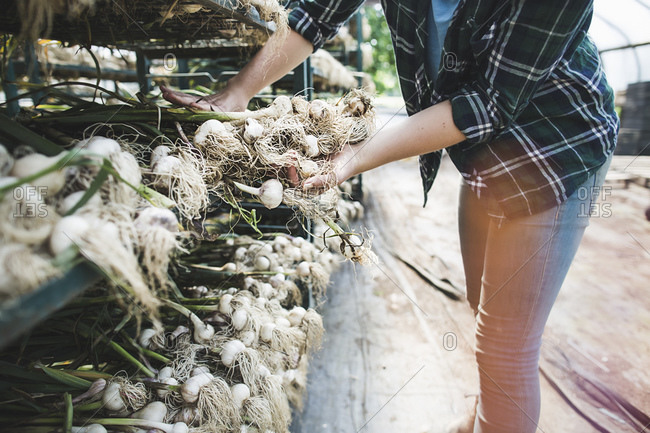 A woman organizes harvested garlic plants
