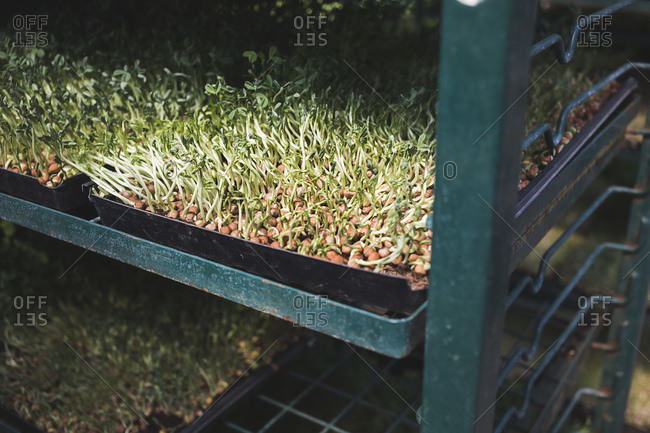 Microgreens sprouting in a tray