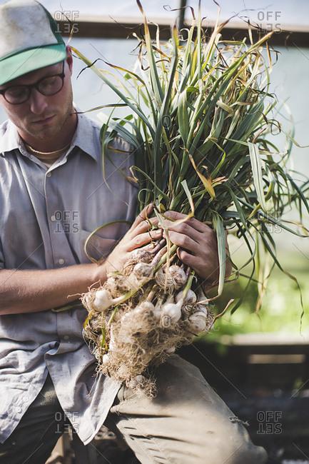 A farmhand holds a bundle of garlic plants
