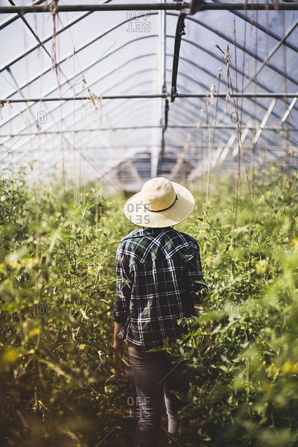 A woman walks through a greenhouse filled with tomato vines