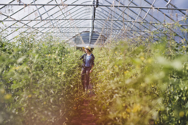 A farmhand in a greenhouse filled with tomato vines