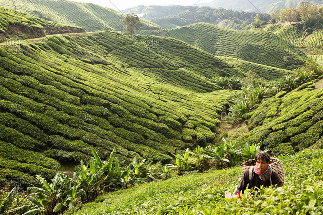Cameron Highlands, Malaysia - March 14, 2009: Harvesting tea in Cameron Highlands, Malaysia