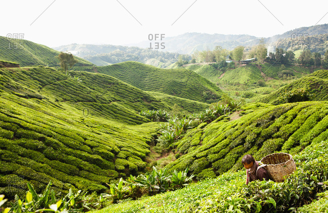 Cameron Highlands, Malaysia - March 14, 2009: A farm worker harvests tea leaves at plantation in Malaysia