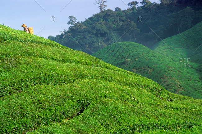 Harvesting tea at a plantation, Cameron Highlands, Malaysia