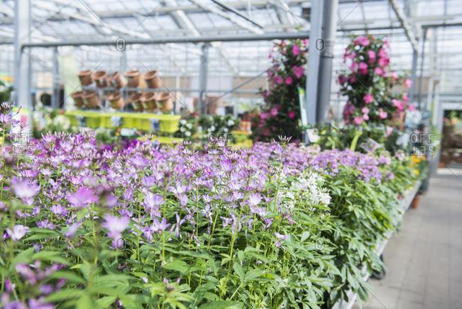 Purple flowering plants in a nursery