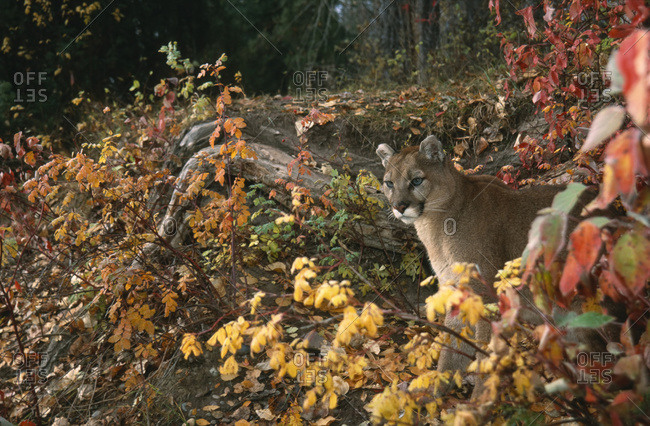 Cougar In Autumn Forest, Montana, Usa