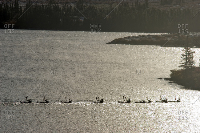 Barren-Ground Caribou, Near Whitefish Lake, Nwt, Canada