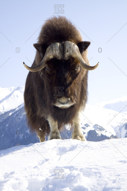 Captive Bull Musk Ox Stands On A Snowy Hill At The Alaska Wildlife Conservation Center, South-central, Alaska