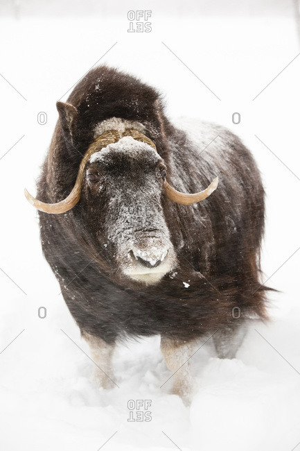 Cow Muskoxen Stands In Deep Snow During A Winter Storm, Alaska Wildlife Conservation Center, South-central Alaska, Winter