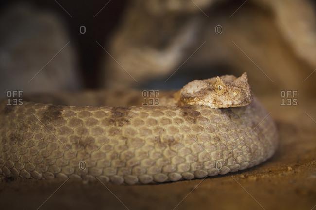 Viper snake, Israel