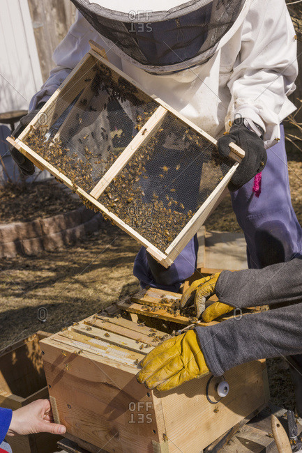 Back Yard Bee Keepers Pouring A New Queen And Her Colony Into A Hive At The Start Of The Season, Anchorage, Alaska, United States Of America