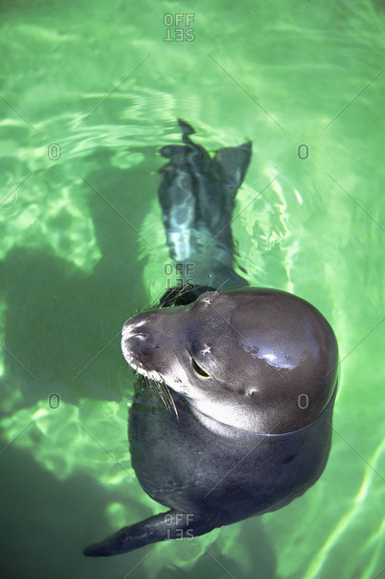 An earless seal (monachus schauinslandi) in the water, Oahu, Hawaii, United States Of America