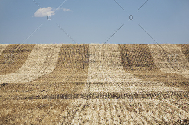 A cut rolling hill grain field with blue sky and cloud, Alberta, Canada