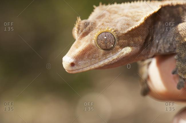 Crested Gecko (Rhacodactylus Ciliatus), California, United States Of America