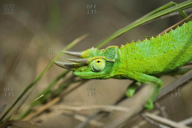 Detail Of Jackson's Chameleon (Trioceros Jacksonii), Island Of Hawaii, Hawaii, United States Of America