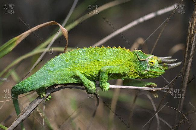 Detail Of Jackson's Chameleon (Trioceros Jacksonii) Perched On A Grass Blade, Island Of Hawaii, Hawaii, United States Of America