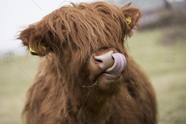 Highland Cattle Licking It's Lips, Scottish Borders, Scotland