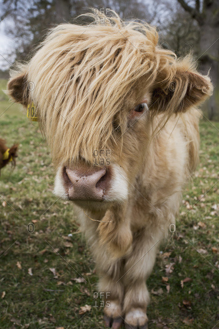 Cow With Long Hair Over It's Face, Scottish Borders, Scotland