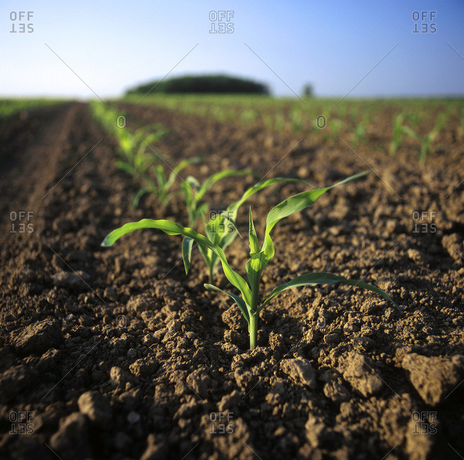 Field of early growth grain corn plants at the four to six leaf stage, Ontario, Canada