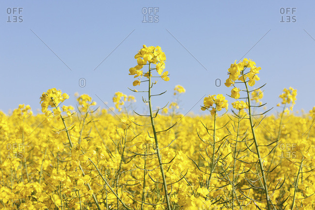 Yellow rapeseed in the typical English countryside of rolling hills around the village of Kingston Deverill, West Wiltshire, England