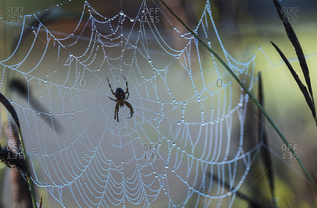 An Orb-Weaver spider rests on her web, Astoria, Oregon, United States of America