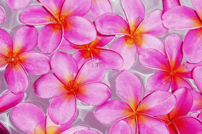 Pink Plumerias (frangipanis) floating in water, Maui, Hawaii, United States of America