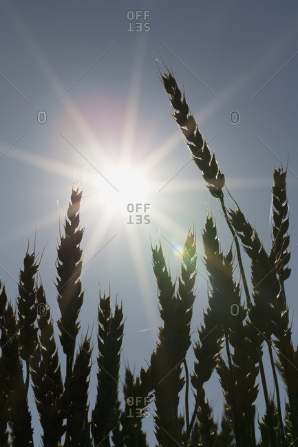 Silhouette of wheat and a sun flare, Beiseker, Alberta, Canada