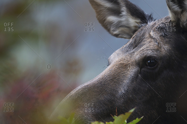 Close up of the face of a moose in Algonquin Park, Ontario, Canada