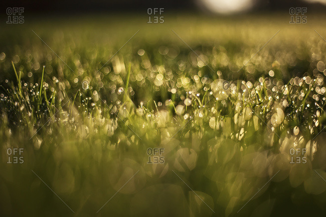 Early light hits wet blades of grass as they reflect little balls of light, Whitnall Park, Wisconsin, United States of America
