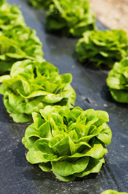 Lettuce growing in rows, Biglersville, Pennsylvania, United States of America